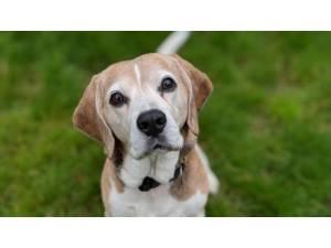 Lillie - Female Beagle Photo