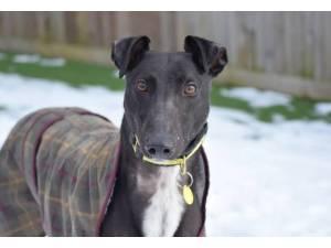 Soloman - Male Greyhound Photo