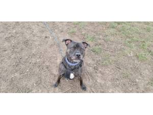 Prince Charming - male Staffordshire Bull Terrier Photo