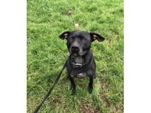 Mr Reg - Male Staffordshire Bull Terrier Cross Photo