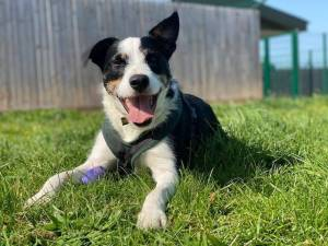 Bobby - Male Collie Cross (Border) Photo