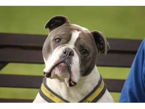 Bodhi - Male Bulldog: English Photo
