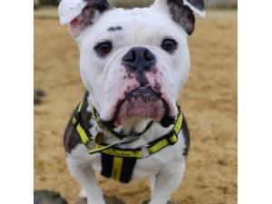 Buddy - Male Bulldog: English Photo