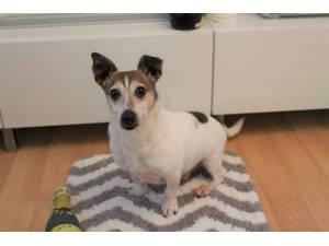 Cashew - Male Jack Russell Terrier (JRT) Photo