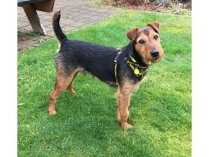 Cuin - Male Terrier: Lakeland Photo