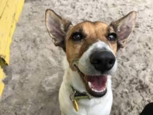 Joey - Male Jack Russell Terrier (JRT) Photo