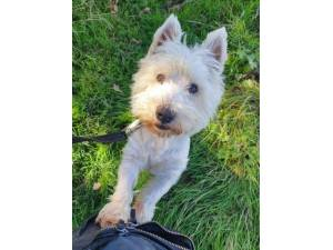 Sid - Male West Highland White Terrier Photo