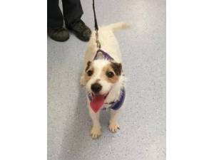 Spud - Male Jack Russell Terrier (JRT) Photo