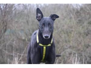 Terry - Male Greyhound Photo