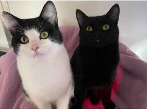 PEPPER AND FIGI - Domestic Shorthair
