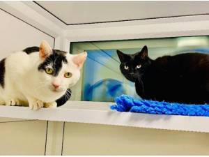 TOLLY AND TIBBS - Domestic Shorthair  crossbreed Photo