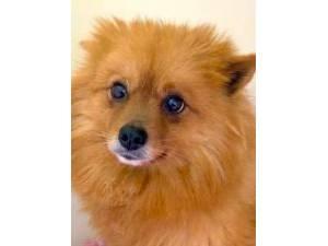 Zantas - Female Pomeranian Photo