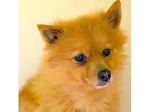 Ziggy - Female Pomeranian Photo