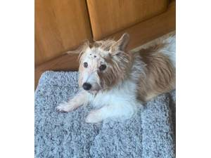 Barney - Male Jack Russell Terrier (JRT) Photo
