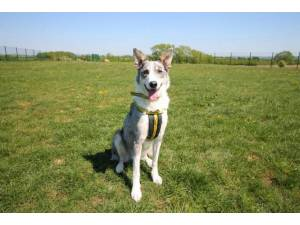 Blaze - Male Collie Cross (Border) Photo