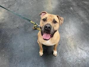 Cooper - Male American Bulldog Photo