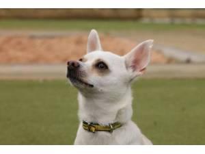 Flake - Male Chihuahua: Short Hr Photo