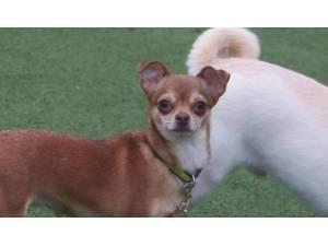 Jiggly - Female Chihuahua: Short Hr Photo