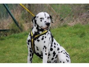 Paul - Male Dalmatian Photo