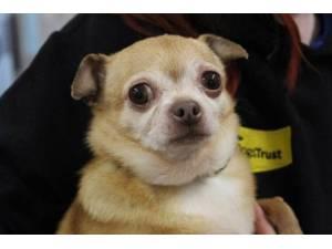 Pixie - Female Chihuahua: Short Hr Photo