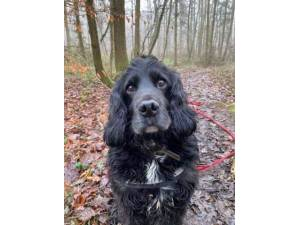 Pudding - Male Spaniel Cross Photo