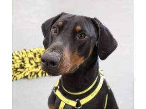 Zeus - Male Dobermann Photo