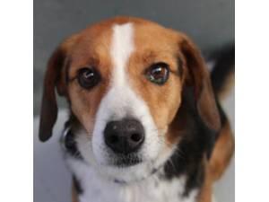 Eric - Male Beagle cross Collie Photo
