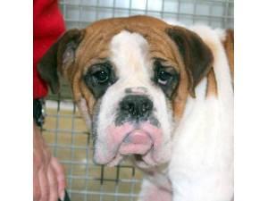 Vera - Female Bulldog cross Beagle Photo