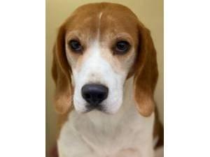 Della - Female Beagle Photo