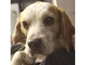 Floss - Female Beagle Photo