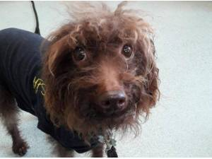 MADDIE - Poodle (Miniature)  crossbreed Photo
