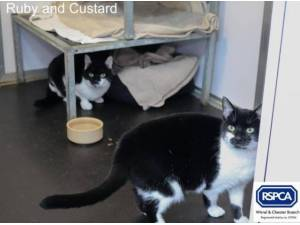 RUBY AND CUSTARD - Domestic Shorthair