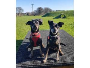 Alfie and Barney - Crossbreed Photo