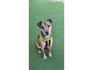 Cheddar - Male Terrier Cross Photo