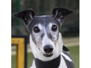 Lady - Female Greyhound Photo