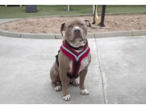 Maya - Female American Bulldog Photo