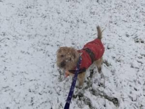 Scruffy - Male Terrier Cross Photo