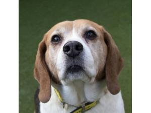 Whispa - Female Beagle Photo