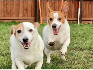 POPPY AND MAISIE - Jack Russell Terrier Photo