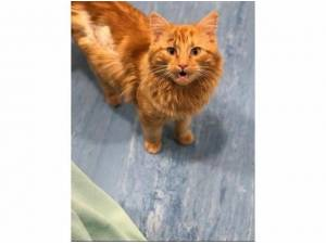 CLARENCE - Domestic Longhair