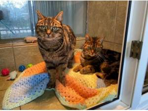 ROCKY AND TIGGER - Domestic Shorthair  crossbreed Photo