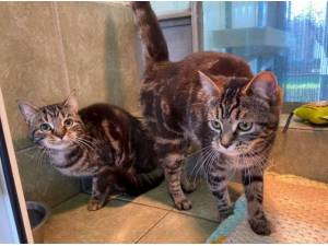 LADY AND PEPPY - Domestic Shorthair  crossbreed Photo