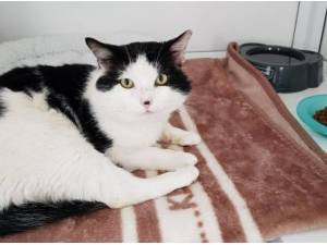 SEFTON - Domestic Shorthair
