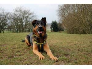 Ace - Male German Shepherd Dog (GSD / Alsatian) Photo
