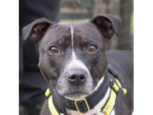 Bella - Female Staffordshire Bull Terrier (SBT) Photo