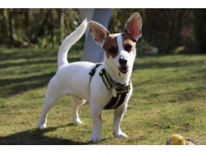 Dinky - Male Jack Russell Terrier (JRT) Photo
