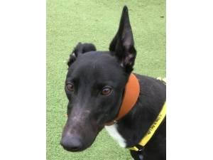 George - Male Greyhound Photo