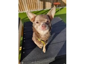 Marnie - Female Chihuahua: Short Hr Photo