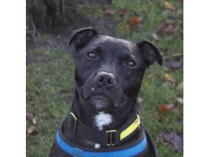 Prince - Male Staffordshire Bull Terrier (SBT) Photo