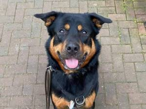 Rocco - Male Rottweiler Photo